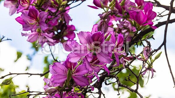 bauhinia arbre aux orchidées.jpg